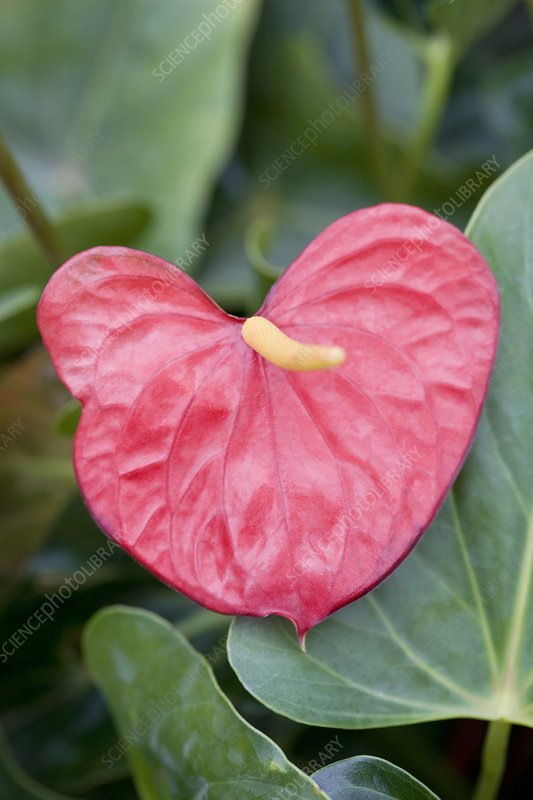 Anthurium 'Red Love'