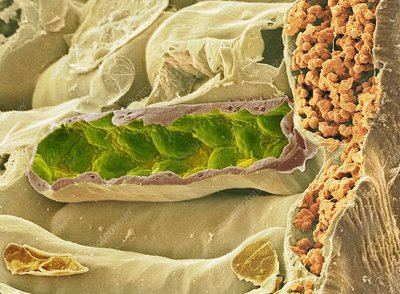 Leaf section, SEM