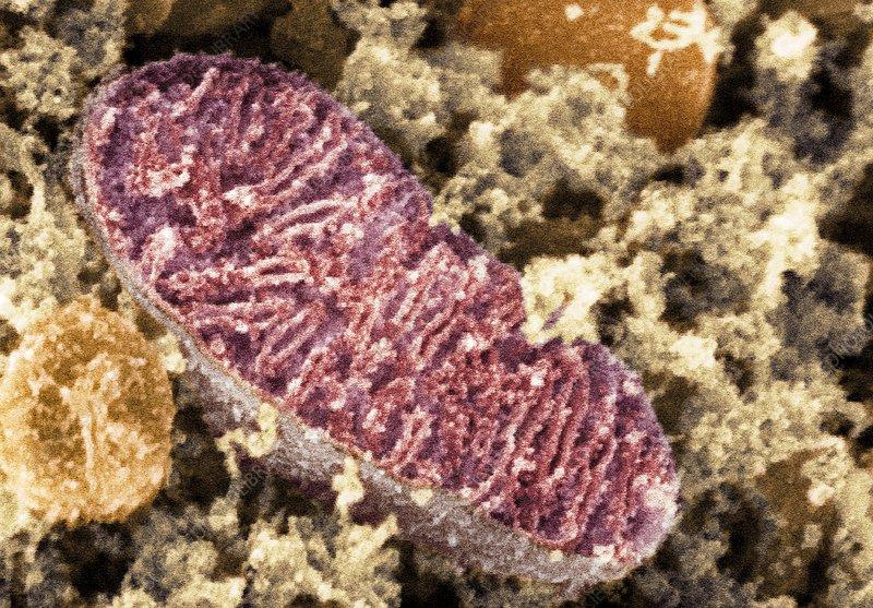 Mitochondrion, SEM - S...