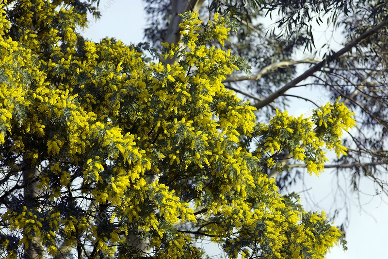 Mimosa Acacia Dealbata Subalpina Stock Image C0012618