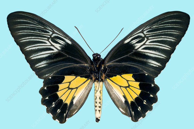 Female criton birdwing butterfly