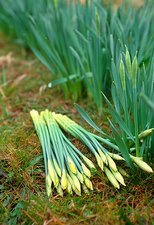 Picked daffodils (Narcissus 'Charlton')