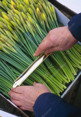 Packing daffodils (Narcissus 'Charlton')