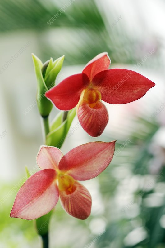 Slipper orchid (Phragmipedium sp.)