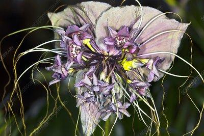 VƯỜN CÂY HOA ĐV I - Page 21 C0012715-Bat_flower_Tacca_chantrieri_-SPL