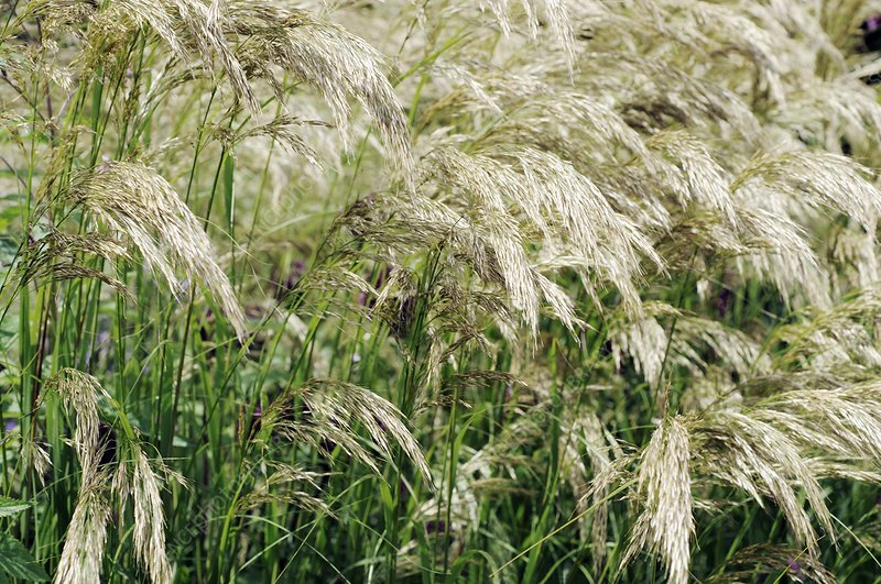 Feather grass (Stipa calamagrostis)