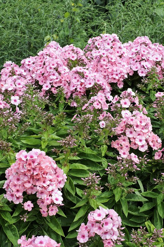 Phlox [Light Pink Flame] = 'Bareleven'