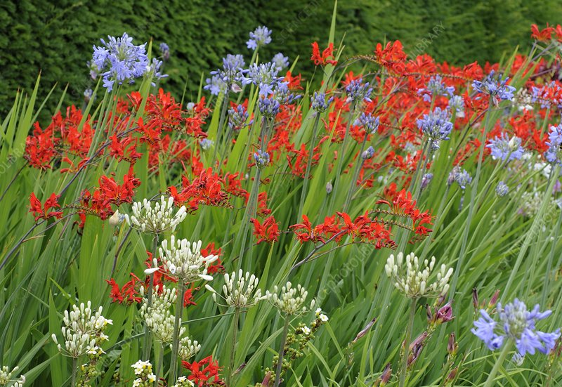 Agapanthus and crocosmia flowers