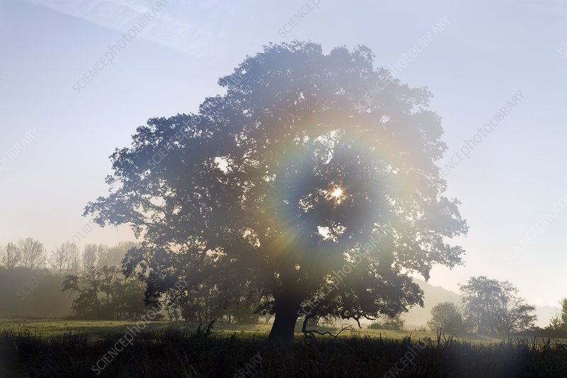 Oak tree in mist