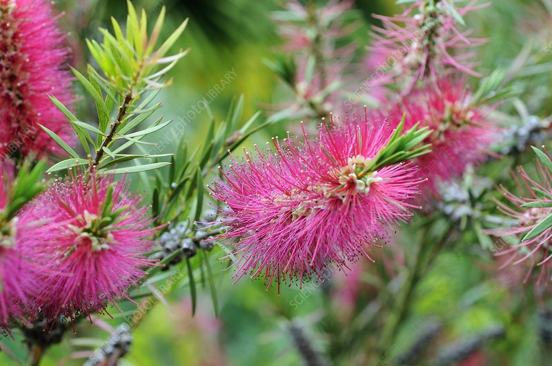 Bottlebrush (Callistemon rugulosus)