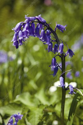 Common bluebell flowers