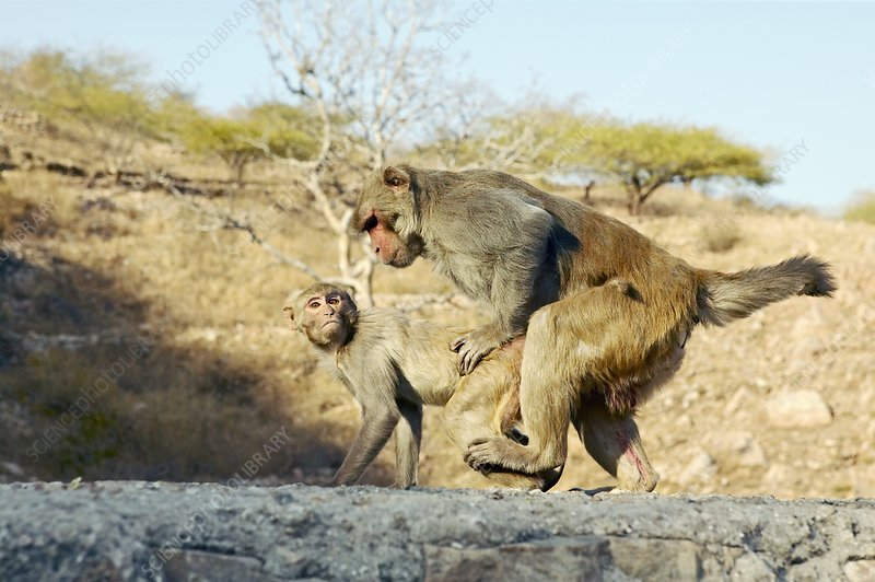 Macaque monkeys mating