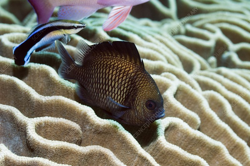 Reticulated dascyllus fish
