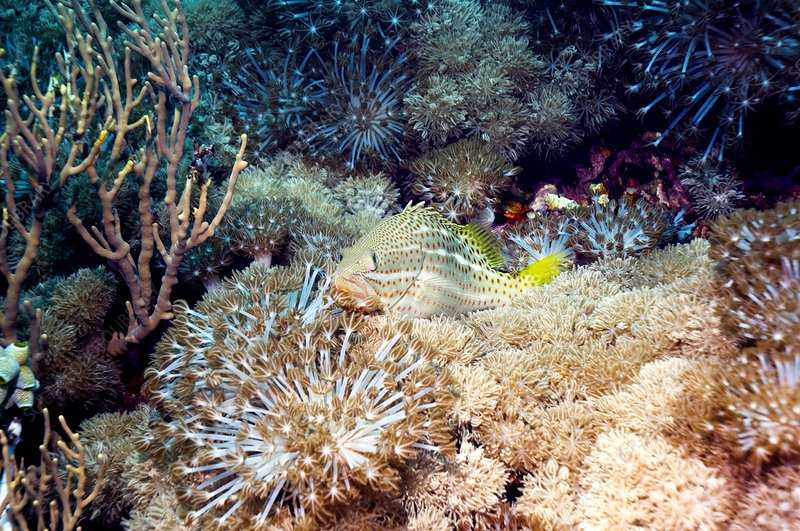 Slender grouper fish on soft coral
