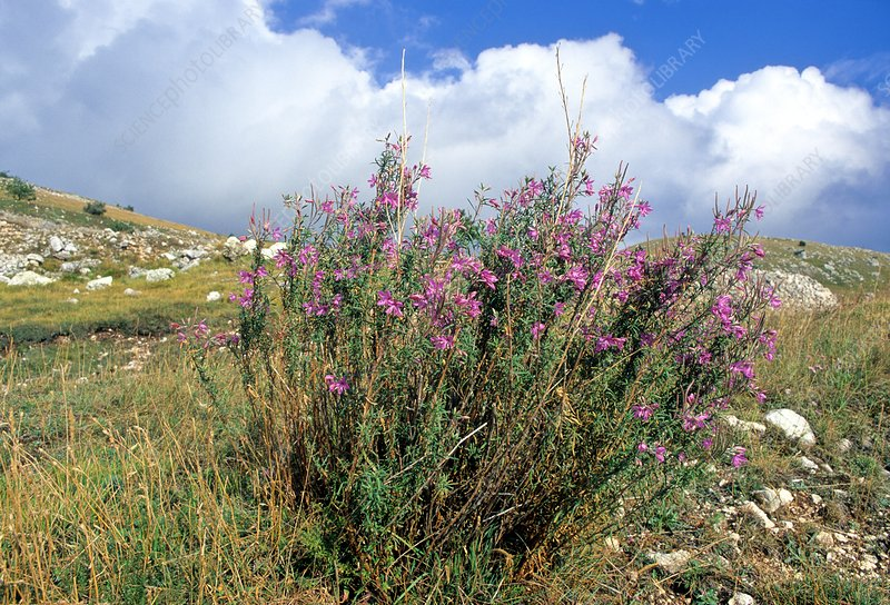 Willowherb (Epilobium dodonaei)