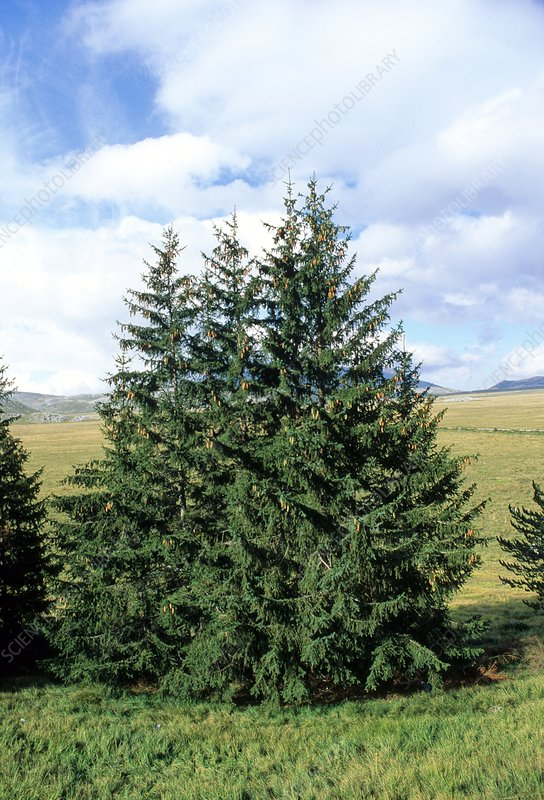 European spruce (Picea excelsa) trees