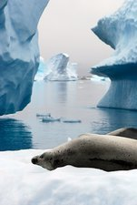 Crabeater seal resting on an iceberg