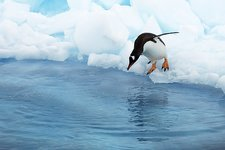 Gentoo penguin preparing to dive