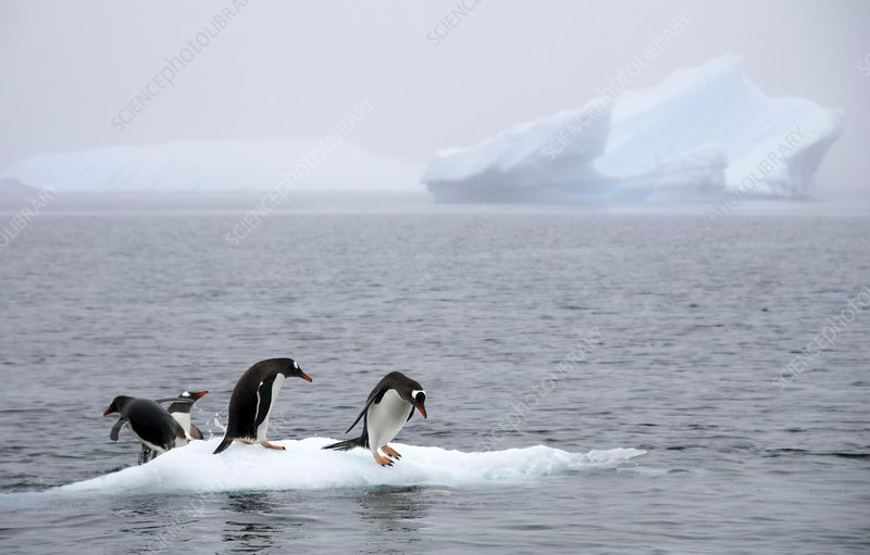 Gentoo penguins on an iceberg