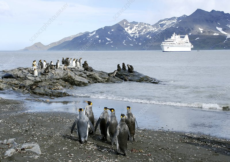 King penguins and sea lions on rocks