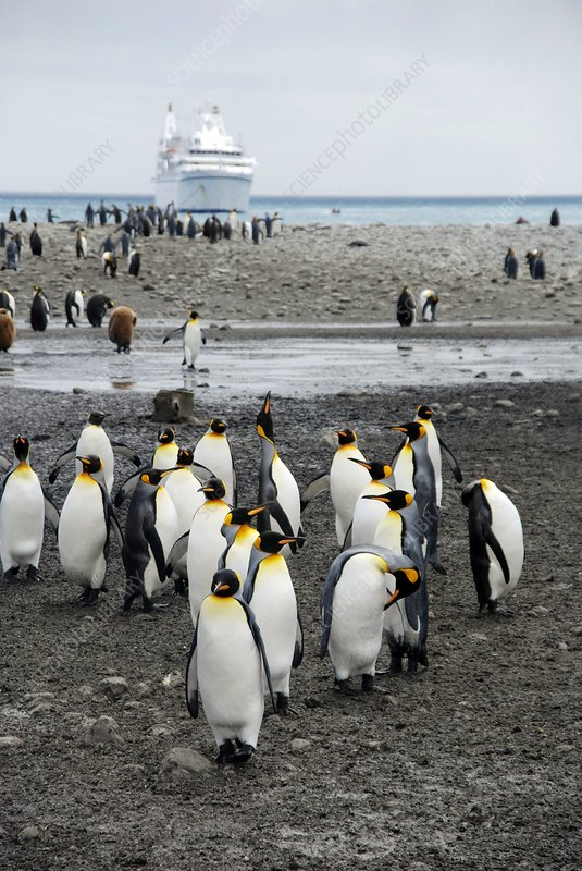 King penguins on the shore