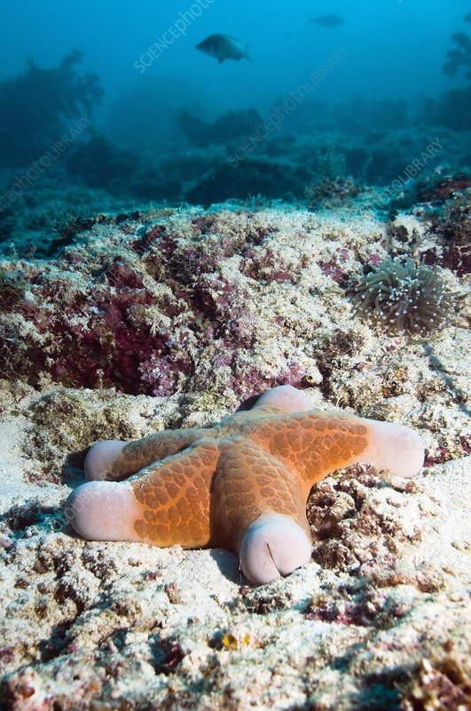 Cushion star starfish