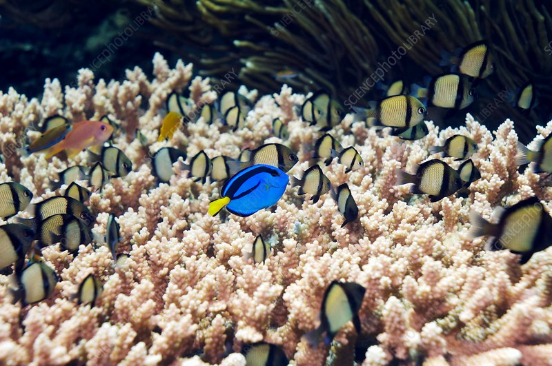 Palette surgeonfish over coral