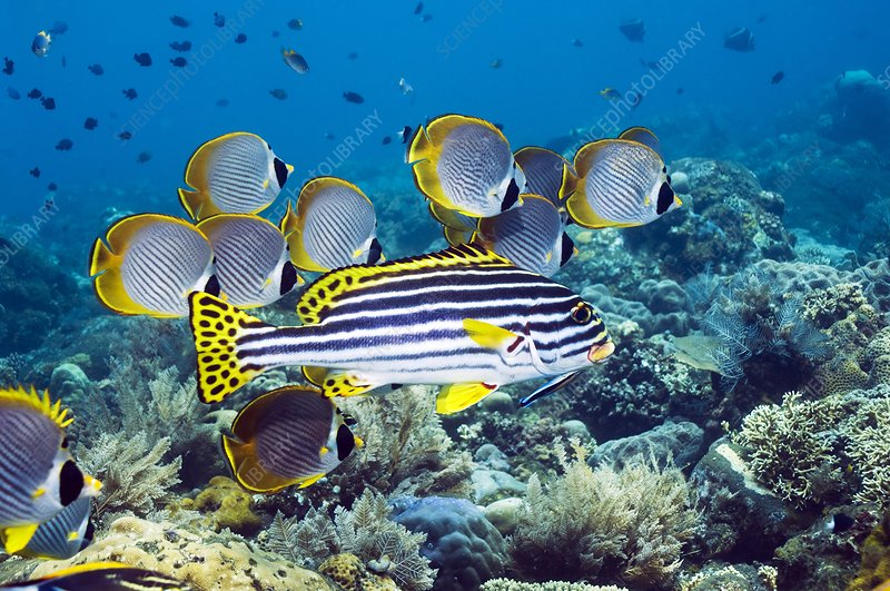 Oriental sweetlips fish
