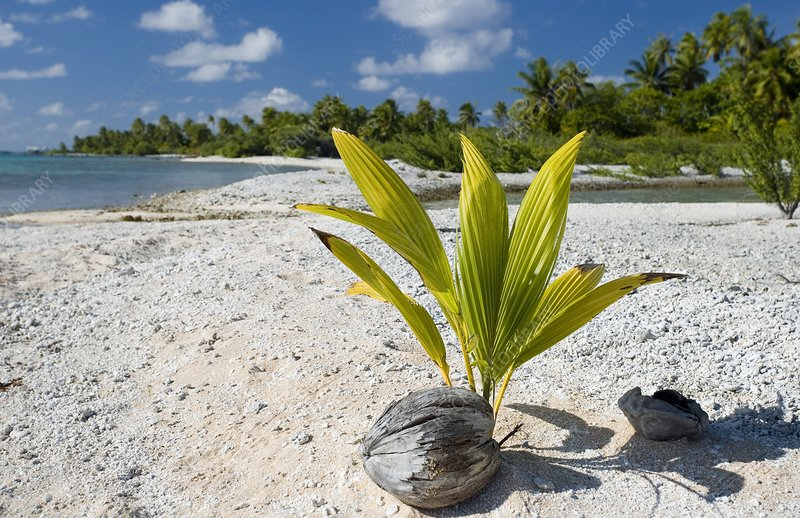 Sprouting coconut on a beach