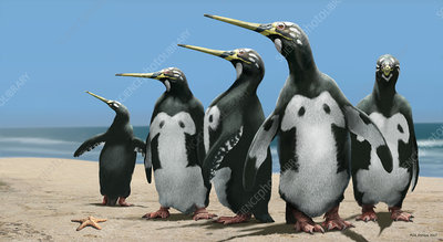 Giant extinct penguin, artwork