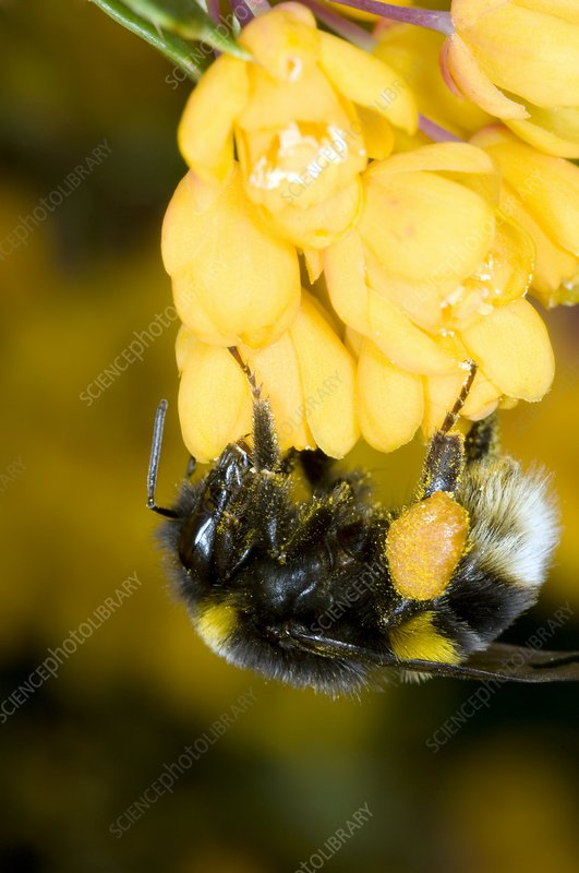 Bumble bee feeding