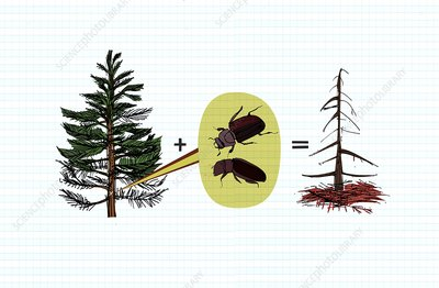 Deforestation due to mountain pine beetle