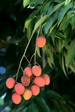 Lychee fruit (Litchi chinensis)