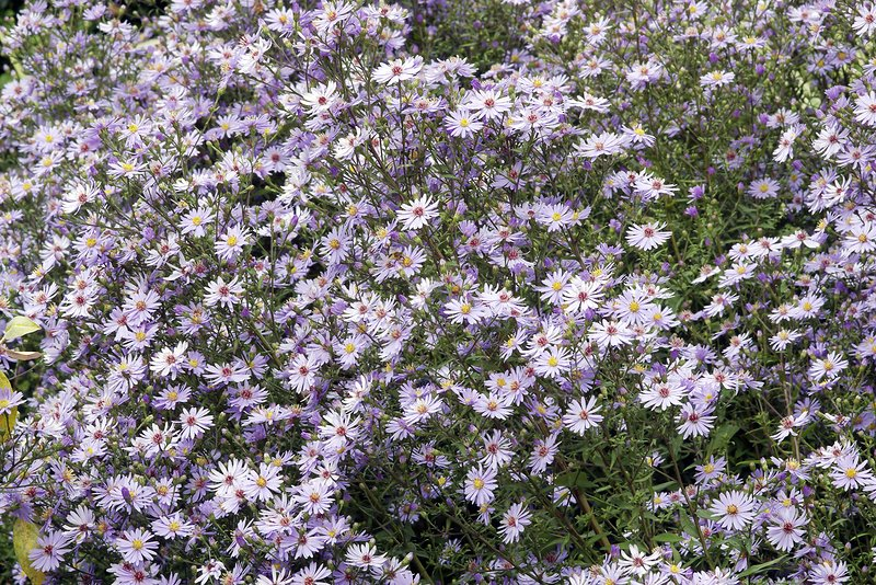 Aster ericoides 'Blue Star' flowers