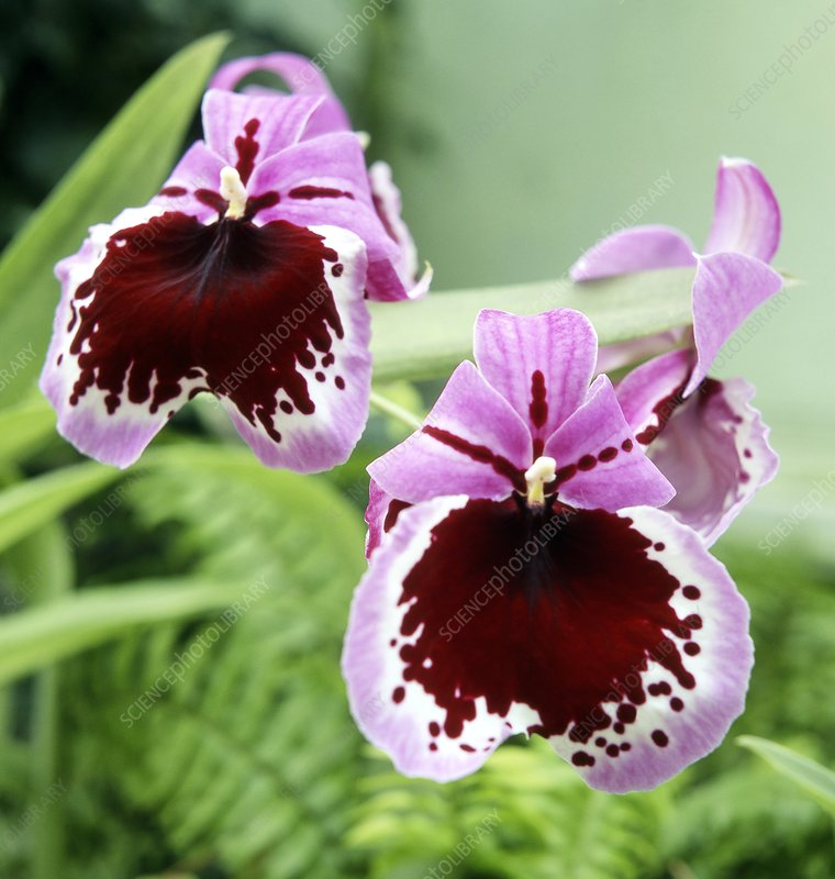 Pansy orchid (Miltoniopsis 'Maidencombe')