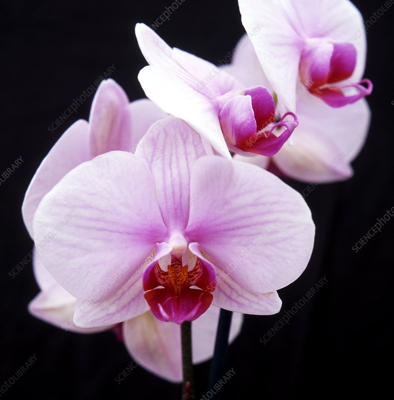 Orchid (Phalaenopsis 'Alice Girl')