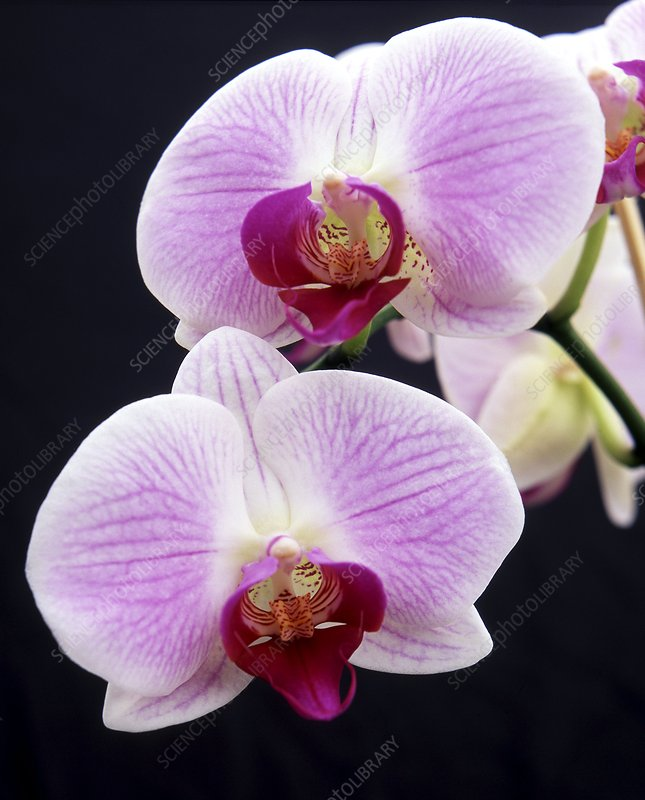 Orchid (Phalaenopsis 'Spanish Melody')