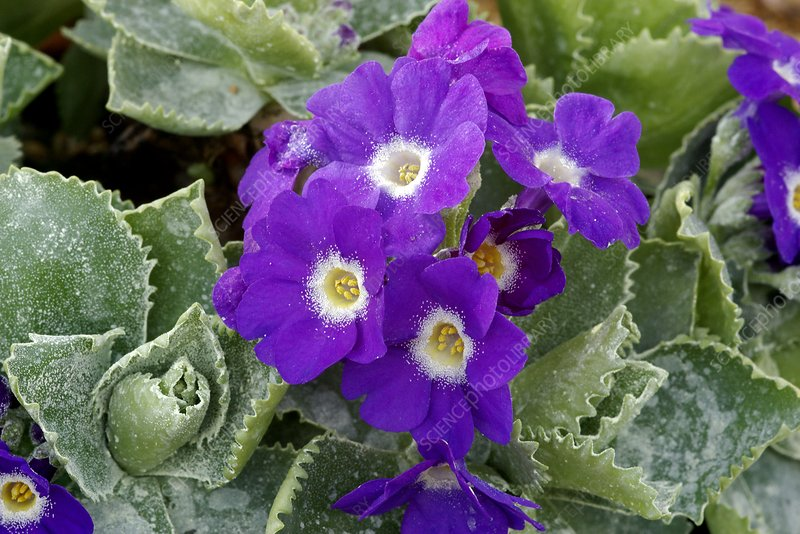 Primula auricula 'Spring Sonnet'