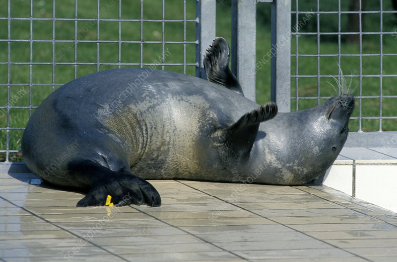Seal at a rehabilitation centre