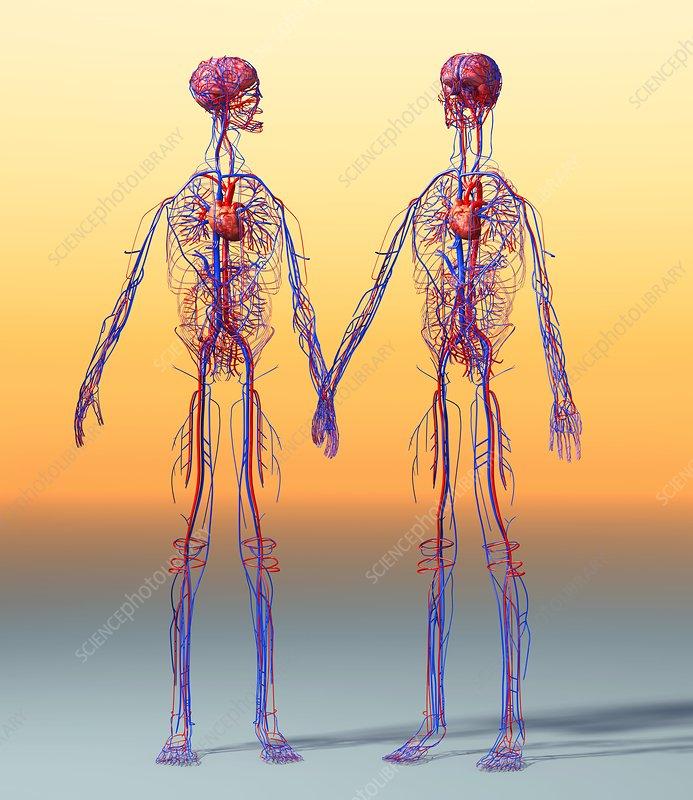 circulatory system veins. Cardiovascular system, artwork