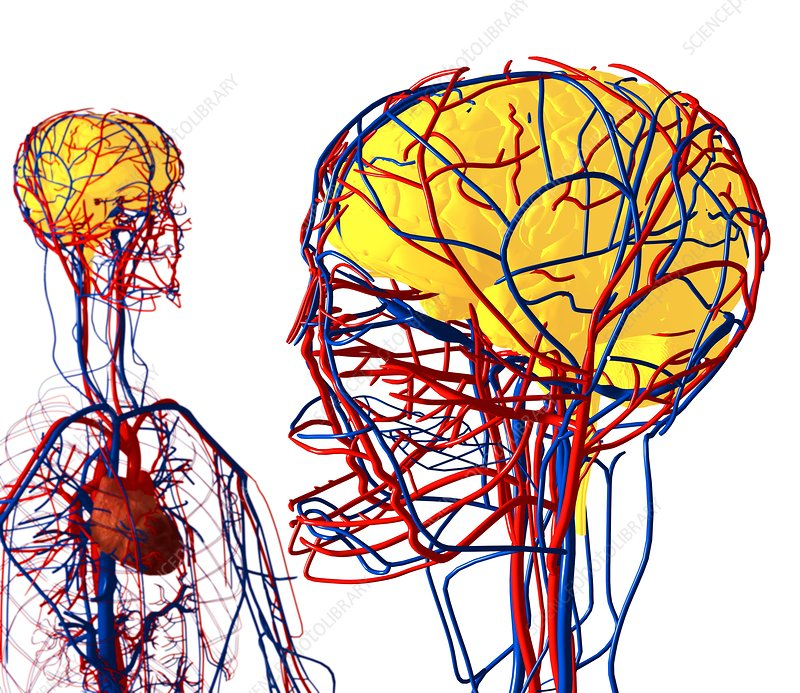 Cardiovascular system and brain, artwork