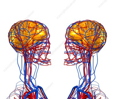 Circulatory system and brain, artwork