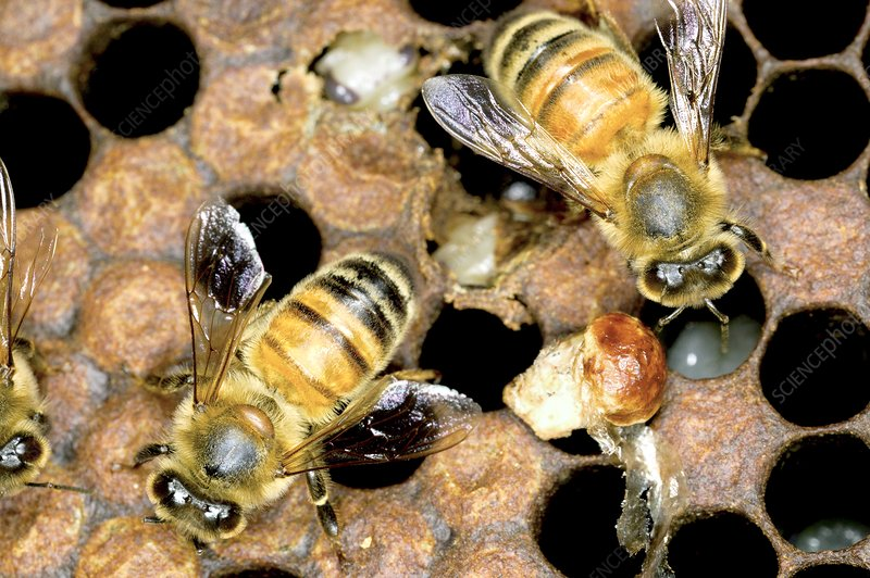 Fungal infection in bees