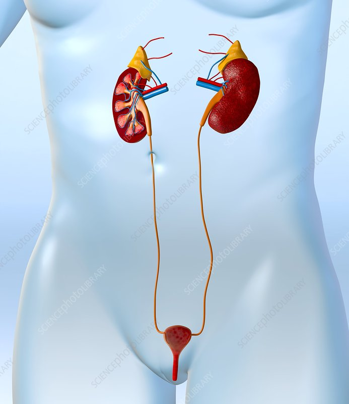Female urinary system, artwork