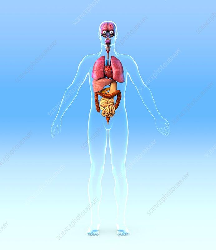 Male internal organs artwork
