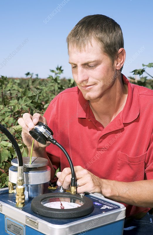 Measuring water stress in cotton plants