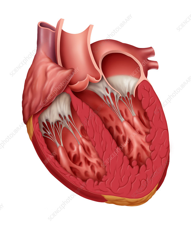 Normal Cutaway of Heart