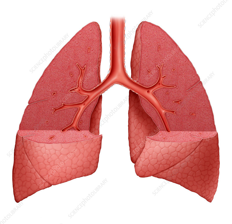Normal Lungs