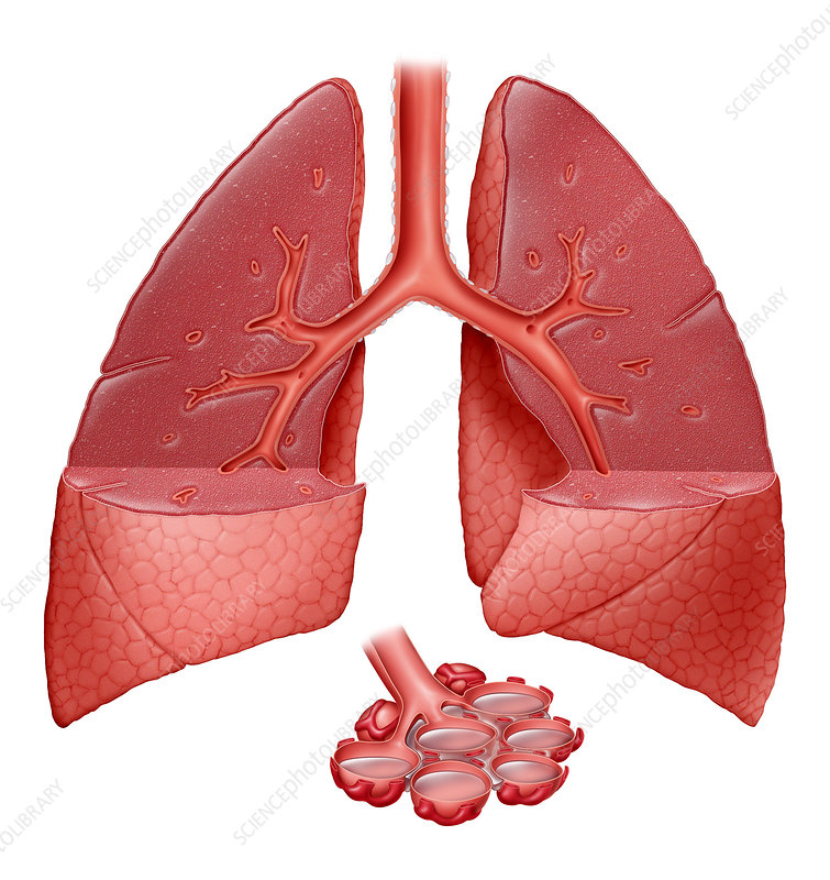Lungs With Fluid
