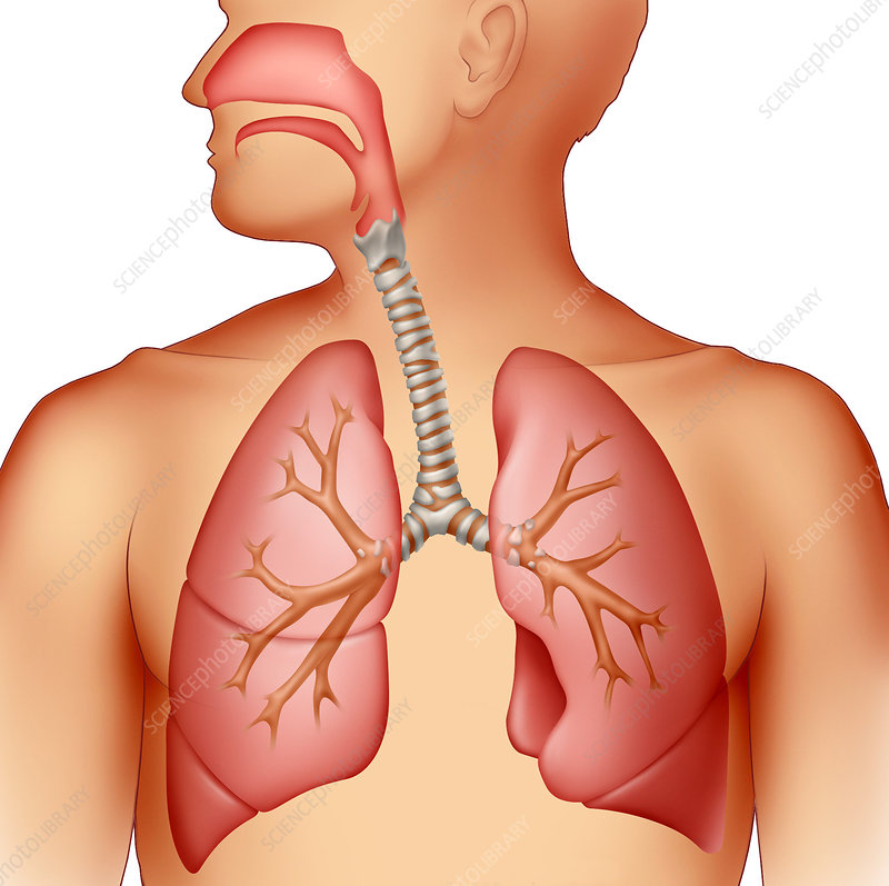 Respiratory System - Stock Image C001/5000 - Science Photo Library